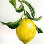 Cách sử dụng Tinh dầu Chanh vàng – Lemon (Citrus limonum):