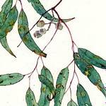 Tinh dầu Khuynh diệp – Eucaluptus (Eucalyptus globulus)