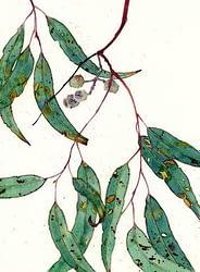 Tinh dầu Khuynh diệp - Eucaluptus (Eucalyptus globulus)