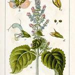 Tầm quan trọng của tên latin trong tinh dầu thiên nhiên